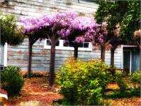 Wisteria In Bloom - Benicia