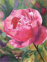 Tiburon Rose As Greeting Card