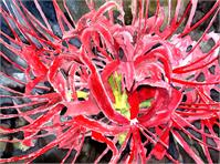 Red Spider Lily Flower Art Print