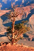 Weathered Juniper Tree On The Canyon Rim Photograph Grand Canyon National Park Arizona By Roupen Baker As Framed Poster