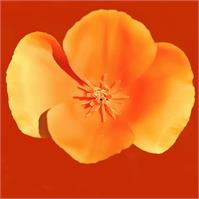 California_Poppy_2009