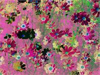Cosmos Garden Flowers As Greeting Card