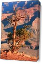 Weathered Juniper Tree On The Canyon Rim Photograph Grand Canyon National Park Arizona By Roupen Baker As Canvas