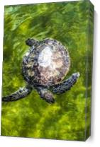 Endangered Green Sea Turtle As Canvas